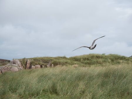 Herring gull hovers over the coast of the Isle of Mull, Scotland Banque d'images