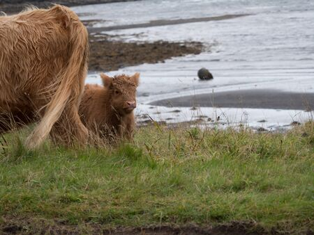 Highland cows on the Isle of Mull