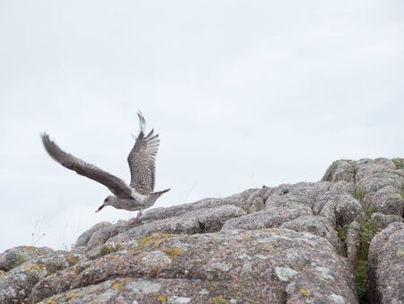 Herring gull lands on a rock along the coast of the Isle of Mull, Scotland