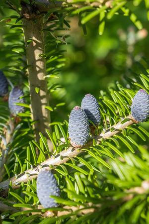 pinecones: Pine tree with blue pinecones