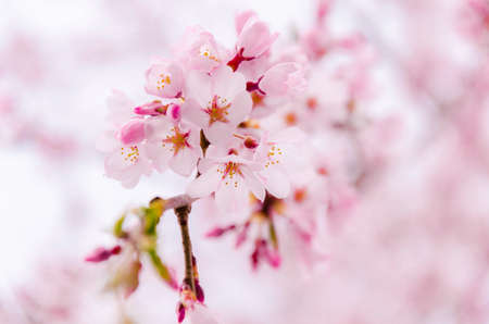 Japan pink sakura