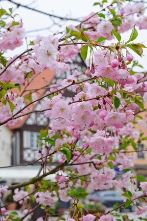 Cherry blossoms and a european town photo