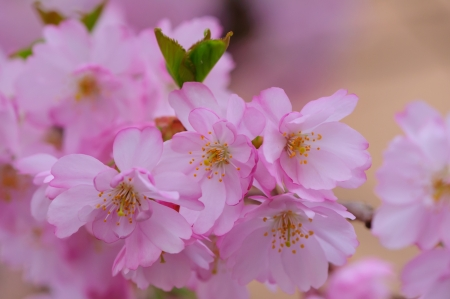 Cherry blossoms photo