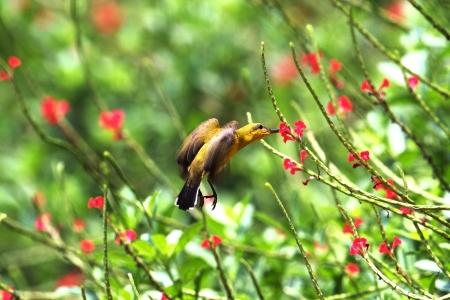 sunbird: Sunbird harvesting nectar from flower