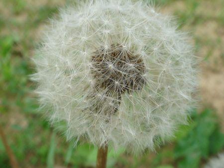 dandelion in garden Stock Photo - 8099285