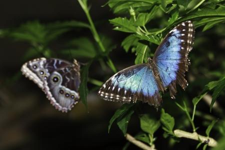 2 Blue morpho butterflies
