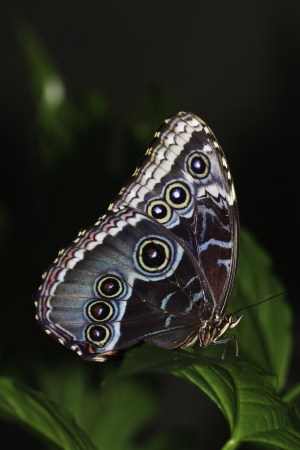 Blue morpho butterfly on a leaf