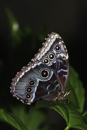 morpho menelaus: Morpho azul mariposa en una hoja