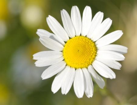 daisywheel: field daisywheel close-up