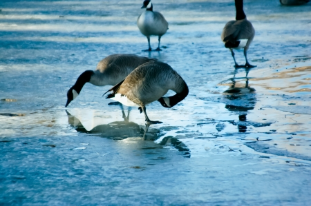 thawing: Geese reflecting in thawing pond as they try to find food Stock Photo