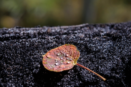 journeying: aspen leave with water drops on tree
