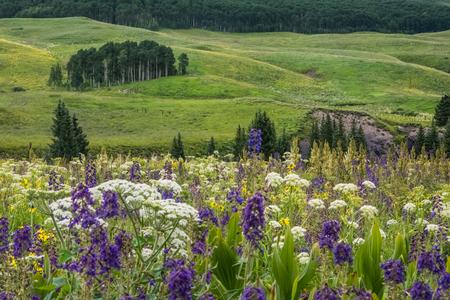lupines: Wildflower field Stock Photo
