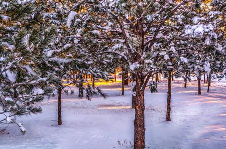 herman: Sun shining on the snow through trees