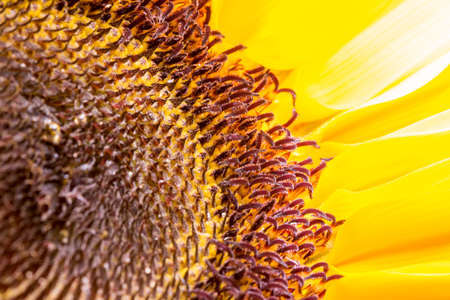 Sunflower close up view