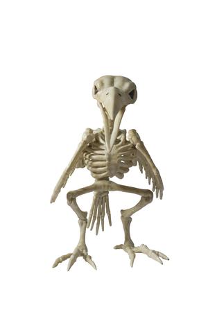 Skelett Rabe auf weißem Hintergrund.