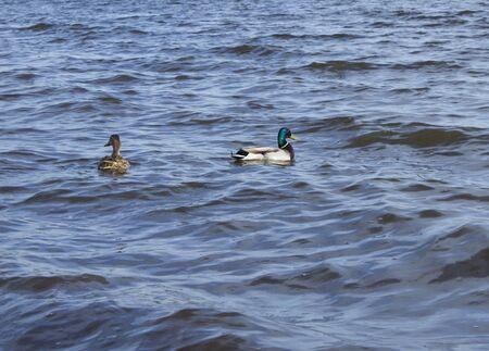 Two ducks swim on the pond
