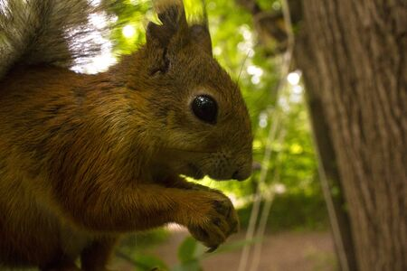 Squirrel in the wild gnaws nuts