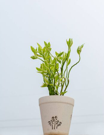 Houseplant Ficus Benjamina with variegated leaves in flowerpot, isolated on white background, Copy space