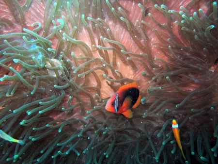 Anemonefish or Clown fish in their natural habitat photo