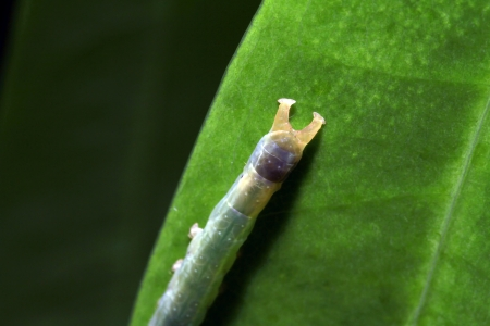 latent: A typical butterfly larvae in a tropical rainforest Stock Photo
