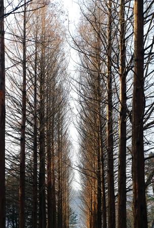 pine trees: Pine trees of Nami Island, Korea during winter