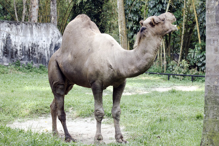 Camel in captivity