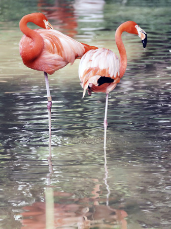 Flamingo birds in captivity 版權商用圖片