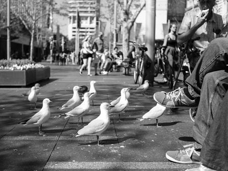 SYDNEY, AUSTRALIA - Sept 12, 2015 - A common view of seagulls waiting to be fed by tourists at Circular Quay, Sydney, Australia