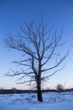 winter sky: lonely oak tree at sunset