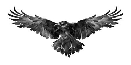 foto van de vogel de raaf vooraan op een witte achtergrond