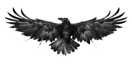 pássaro pintado corvo frente em um fundo branco Foto de archivo