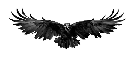 sketch bird is a Raven in front on a white background