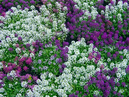 These flowers, texture of white colors violet
