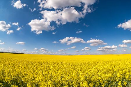 Field of beautiful springtime golden flower of rapeseed with blue sky Stock Photo