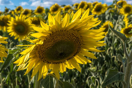 Bright yellow sunflowers in full bloom in garden for oil improves skin health and promote cell regeneration 版權商用圖片