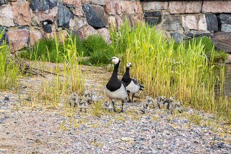 Family of Barnacle geese with ducklings oh the shore of Gulf of Finland, Kaivopuisto Park, Helsinki, Finland