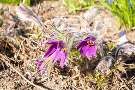 Pulsatilla vulgaris is blooming, Marketanpuisto (Marketta park), Espoo, Finland