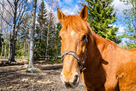 Portrait of the red horse on the farm, Finland