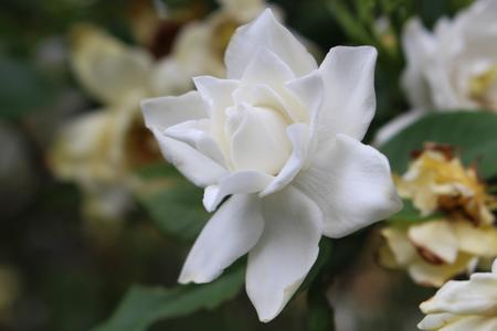 dof: White flower with shallow dof