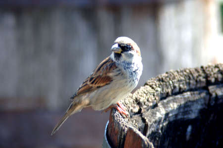 Sparrow on edge of wooden barrel Stock Photo