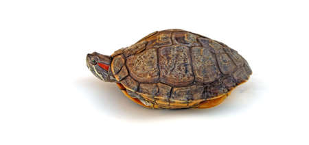Turtle with only head out of shell Stock Photo