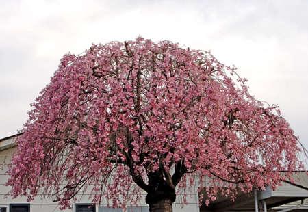 Pink flowers on umbrellas tree
