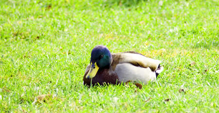 Mallard duck laying on green grass Banco de Imagens
