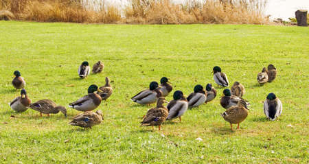 Large group of mallard or wood ducks in grass with lake in background Banco de Imagens