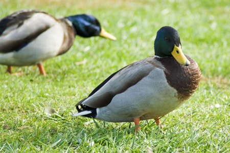 Male mallard duck standing in green grass
