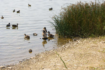 Edge of lake with green grass and group of ducks Banco de Imagens