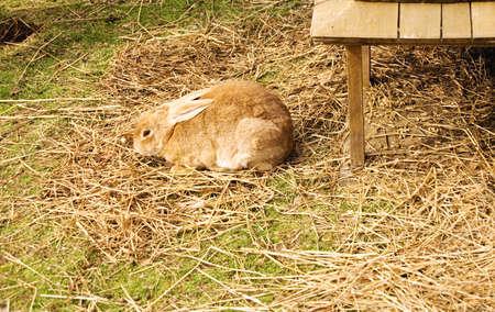 lagomorpha: Furry brown rabbit on straw outside