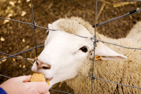 wooly: Wooly sheep eating ice cream cone through fence