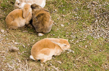 lagomorpha: Many brown rabbits grouped together Stock Photo