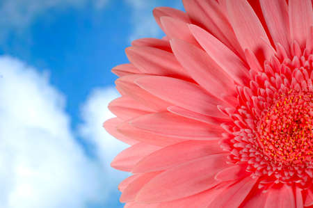 Beautiful pink gerbera flower against blue sky with white clouds photo